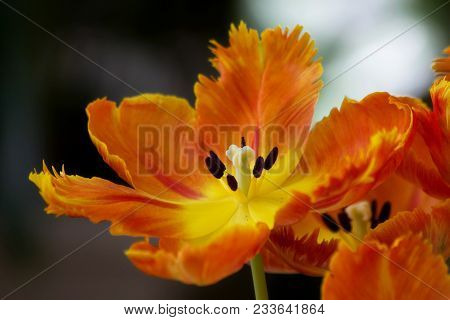 Close-up Fluffy Orange Tulips In City Field. Bulbous Field Orange Tulips Bright Flowers. Orange Tuli
