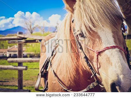 Horizontal Photo Depicts Beautiful Lovely Brown And White Horse Gazing On A Horse Yard.  Horse Face.