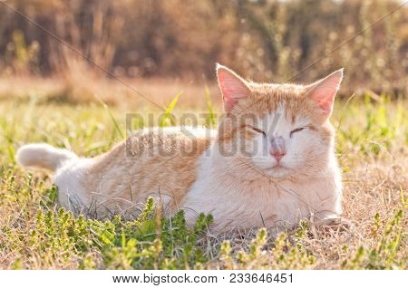 Rough looking ginger and white stray tomcat in spring grass, backlit by late afternoon sun
