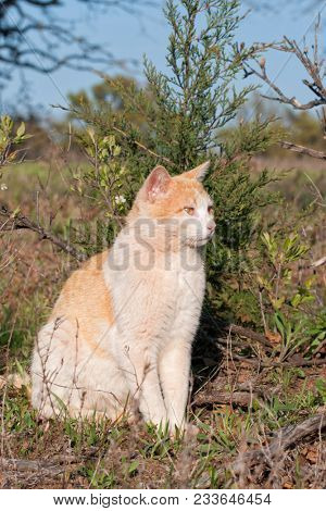 Ginger and white stray tomcat sitting in front of a small Cedar tree in spring sun