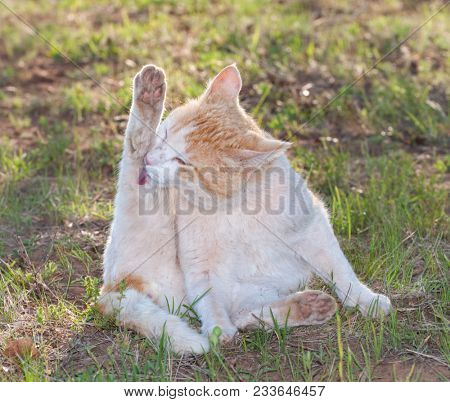 Rough looking white and ginger stray cat washing hos hind leg, backlit by spring evening sun