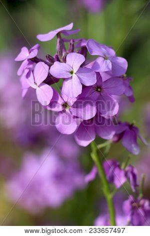 Dames Rocket Flower Or Forest Hesperis Blossoms In May Woods. Purple Wildflowers. Night Violet Flowe