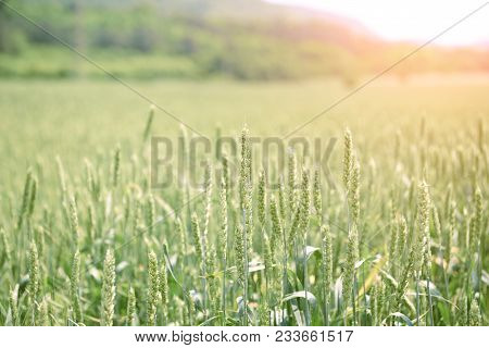 Green Wheat Field And Sunny Day. Bright Sunset Over Wheat Field. Sun Over Green Wheat Field.