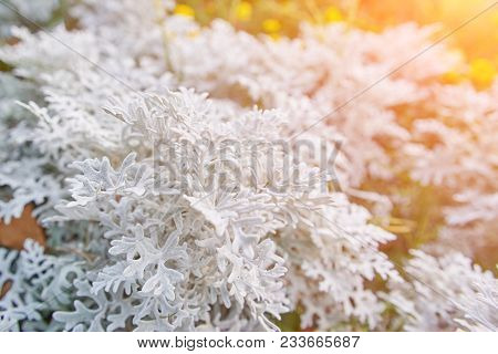 Thuja During The First Frost. Frosted, White. Sunny Morning. Bokeh.