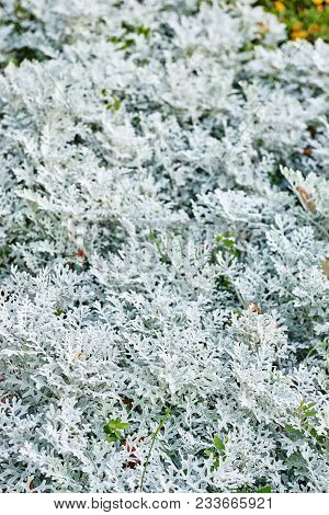 Thuja During The First Frost. Frosted, White.