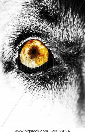 Yellow Dog Eye
