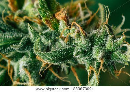 weed Beautiful buds before harvest. cannabis grow indoor Macro shot sugar trichomes cbd thc concepts of grow and use of marijuana medicinal purposes. Concepts legalizing weed Beautiful poster