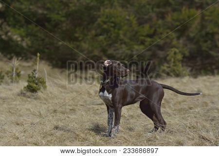 Deutsch Kurzhaar German Short-haired Pointing Dog In The Forest