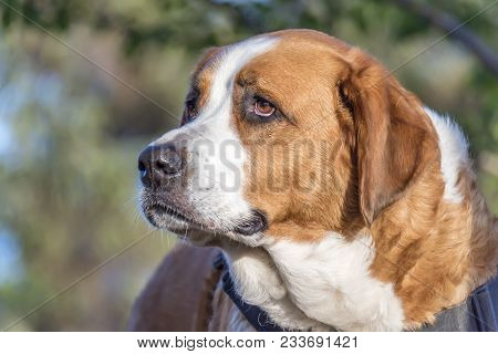 Head Of A Thoroughbred Dog With Sad Eyes, Long Red Hair And White Spots On A Blurry, Green Backgroun