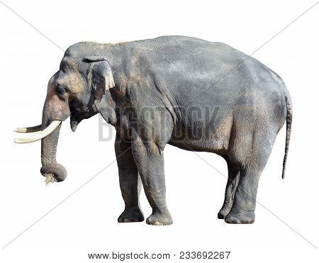 Elephant Close Up. Big Grey Walking Elephant Isolated On White Background. Standing Elephant Full Le