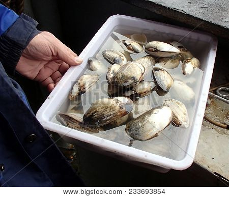 Clam Alive In Plastic Bowl. Clam Is The Common Name Used For Some Of Bivalve Molluscs, From Saltwate
