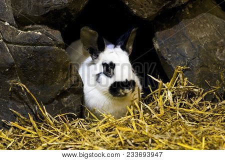 Rabbit Bunny In Hole Sitting At Home. Black And White Fluffy Rabbit Or Bunny On Animal Farm In Rabbi