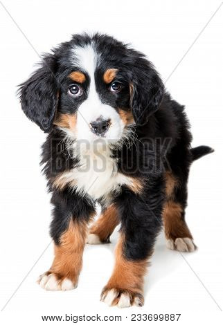 Bernese Mountain Dog Puppy Isolated On White Background