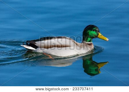 Mirorred Natural Male Mallard Duck (anas Platyrhynchos) Swimming In Blue Water