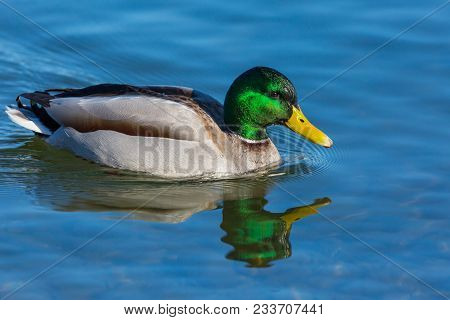Natural Male Mallard Duck (anas Platyrhynchos) Swimming In Blue Water