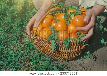 Wicker Basket Full Of Healthy Organic Yellow Tomatoes
