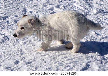 White Dog Covered With Snow  Cream Cut Cute Doggy