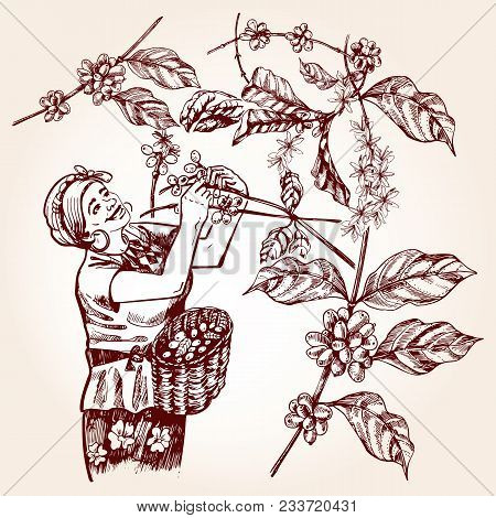 Coffee Harvesting. Woman Collects Coffee Fruit From Branches Of Trees And Places Coffee Berries In A