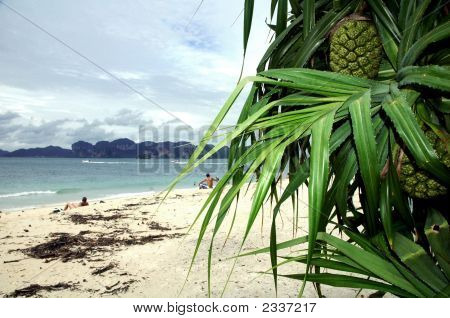 Pine Apple On Phi Phi Island