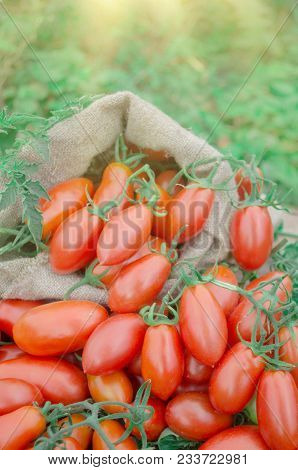 Red Long Cherry Tomatoes. Tomatoes In Canvas Bag. Ripe Long Plum Tomatoes