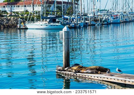 Sea Lions And Seagulls Ona Wooden Pier In Oceanside, Southern California