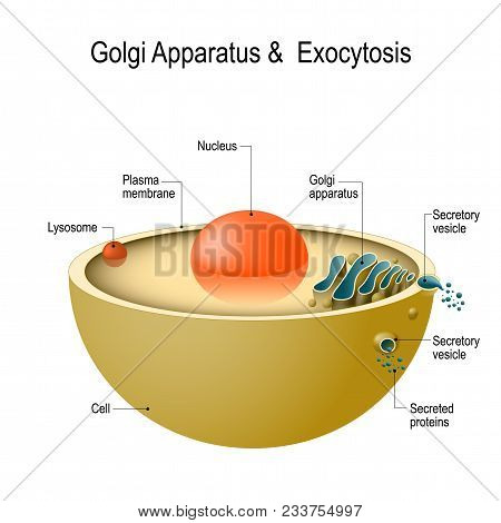 Golgi Apparatus And Exocytosis. Cell Transports Molecules Out Of The Cell. Vesicles Are Carried To T