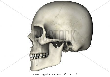 Human Skull Lateral On White Background