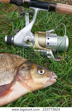Close Up View Of Big Freshwater Common Bream And Fishing Rod With Reel On Natural Background..