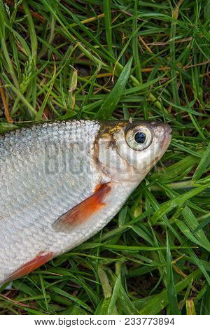 Close Up View Of The Signle White Bream Or Silver Fish On The Natural Background. .