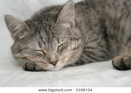 The Grey Cat Which Sleeps On A White Background