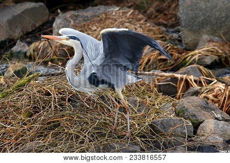Grey Heron Ukraine 2018 Grey Heron In Natural Habitat (ardea Cinerea). Kiev.