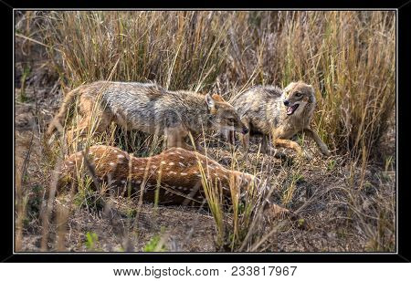Two Indian Jackals Fighting For Fresh Meat