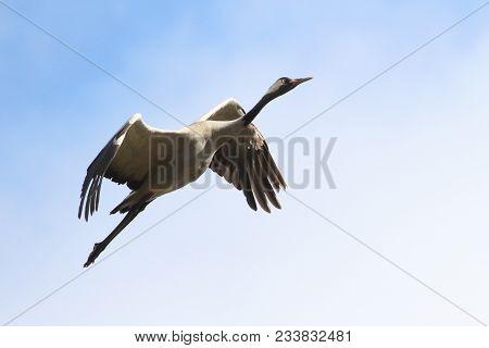 Crane Is Large Bird Flies Fly Flight Sky