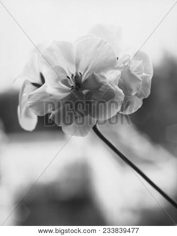Geranium Flower Close-up. Inversion Of The Paper Negative. Attention! The Image Contains Granularity