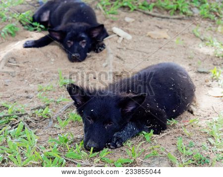 Young Black Stray Dog Or Puppy Lying On The Ground Without Grass With Its Brother On The Background