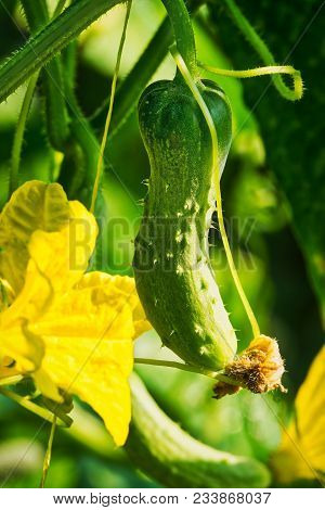 Cucumbers Growing On Vines, Close Up Of Cucumber With Blooming Flower
