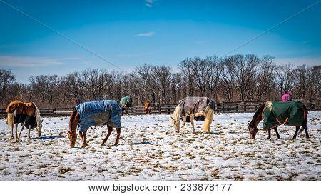 Horses Grazing In A Snowy Virginia Field.