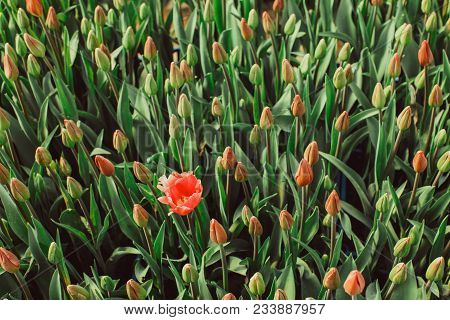 One Blossoming Red Tulip In The Field Of Buds. Top View