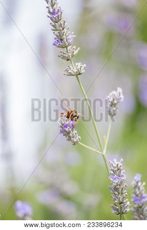 Closeup Of Hornet On Lavender Flower. Vertical View