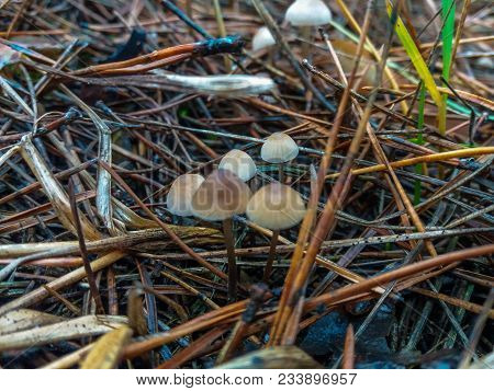 Forest Small Mushrooms Hiding In The Pine Needles.