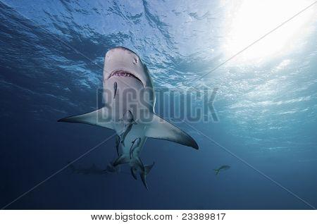 Underview Of Lemon Shark