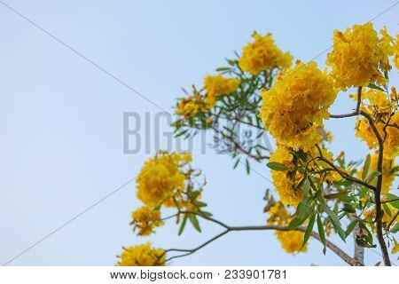 The Yellow Flower,tabebuia Argentea Britt Or Silver Trumpet Flower, Tree Of Gold Or Paraguayan Silve