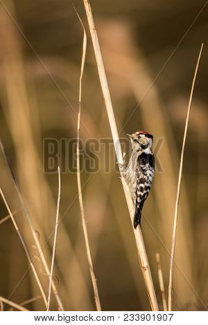 A Cute Downy Woodpecker Clings To A Single Phragmite Reed In A Field Of Out Of Focus Brown Reeds. Do