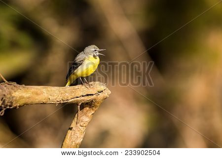 A Grey Wagtail Standing On A Rock In A Creek. The Grey Wagtail Is More Colourful Than Its Name Sugge