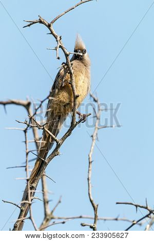 Speckled Mouse Bird Perched On Leafless Thorn Tree Branches