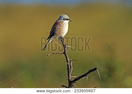 Red-backed Shrike Perched On Dry Leafless Thorny Branch