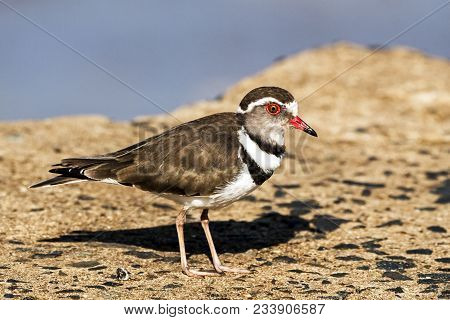 Three Banded Plover Bird Standing On Concrete Bridge