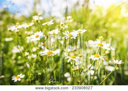 Summer Chamomile Flowers On Green Meadow In Bright Sunny Day. Camomile Flowers Background. Nature Of