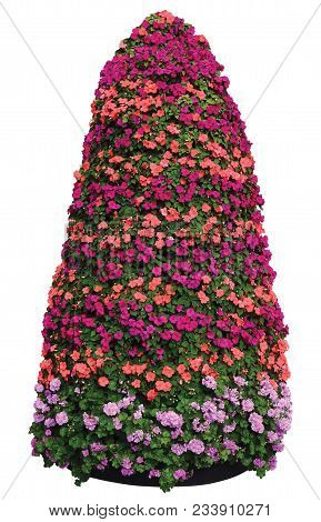 Impatiens Walleriana Sultanii Busy Lizzie Flowers Plant Pyramid, Isolated Large Detailed Colorful Ve