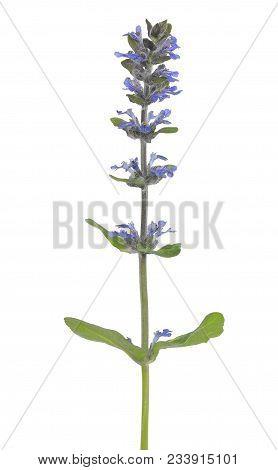 Ajuga Reptans, Blue Bugle Flower Isolated On White Background